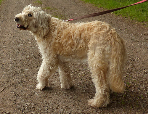 huge discount 5b08d 1218e Ein so lieber und so schöner Hund ... ein Goldendoodle ... eine Kreuzung  zwischen Golden Retriever und Pudel. Sechs Jahre lang war diese Hündin eine  ...