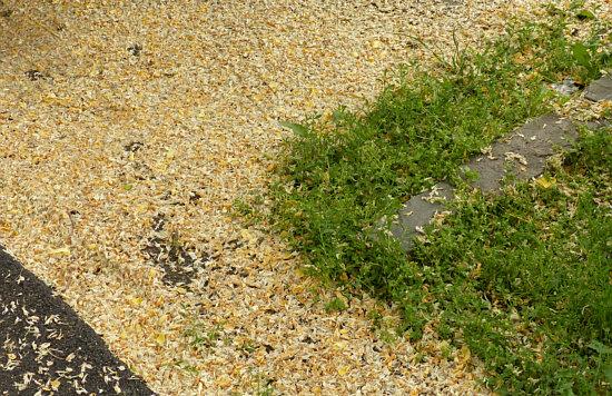 new concept 06b0f aa753 Wäre nicht der Boden mit Blütenblättern bedeckt gewesen, hätte ich nicht  nach oben geschaut und mitgekriegt, dass die Robinien geblüht haben und  fast ...