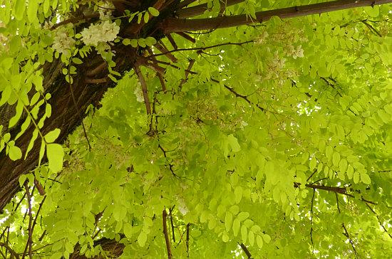 timeless design d8e24 176ee Voriges Jahr sprangen einem die Robinienblüten ins Auge, in diesem Jahr  entdecke ich sie nur per Zufall. Immer wieder anders.