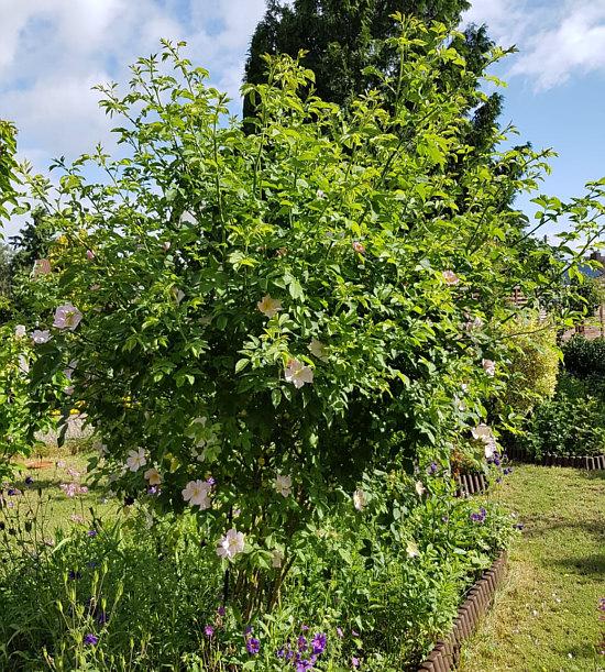 release date 8a9e2 2ead2 Diese Rose hat Beate mal als Edelrosen-Hochstämmchen gekauft ... irgendwann  mal nach einem Winter war sie keine Edelrose mehr, sondern eine normale ...